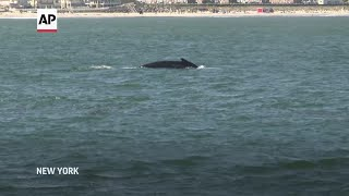 Big increase in NYC whale population
