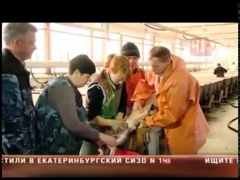 видео: На Урале начали разводить белугу
