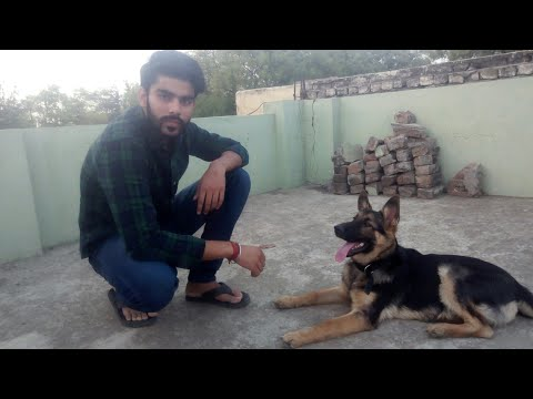 How to teach down command to your puppy in hindi.