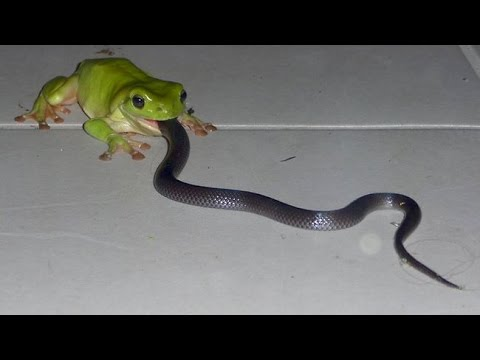Thumbnail: Giant frog eats snake: Uncredible !!!!!!