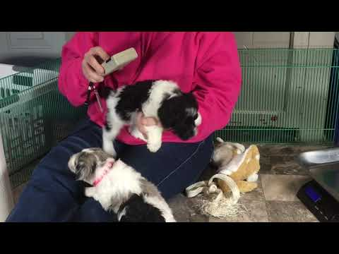Lilly's schnoodle puppies 1/25/19