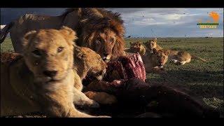 Wild Fauna / Прайд Вумби /  Lion Gangland / Жизнь Львов
