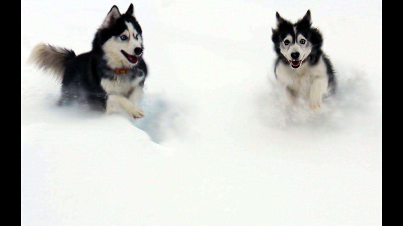 Snow Dogs Playing In Winter Wonderland Funnydog Tv