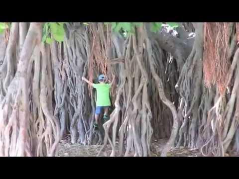 kids-enjoy-one-of-hawaii's-largest-banyan-trees,-honolulu-hawaii.