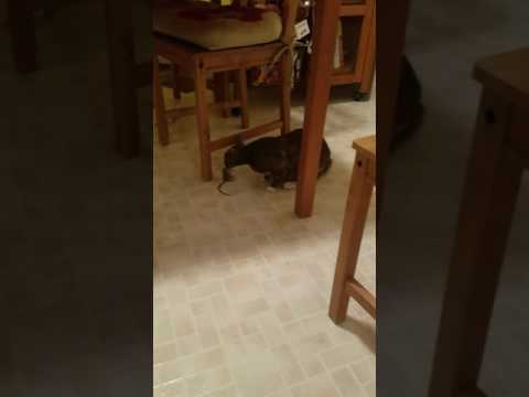 Princess Manx Cat catches mouse and brings in house!