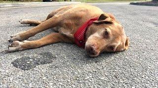 大好きな飼い主を「ひき逃げ事故」で失った犬 その場を離れず悲しみに暮...