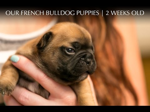 French Bulldog Puppies 2 Weeks Old