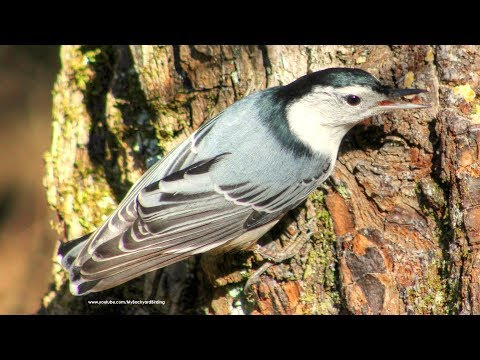 Nuthatch Calls, Sounds and Behavior
