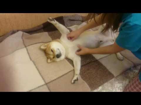 Relaxing Shiba Inu / Собака-улыбака