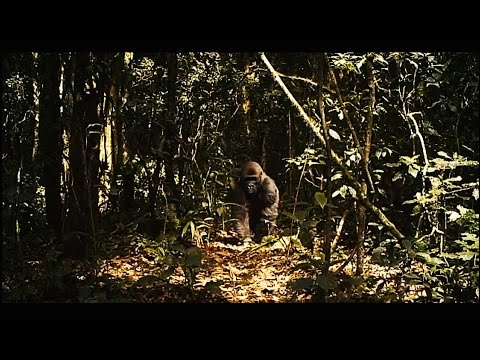 Gorilla Folks Films From the Cross River Headwaters Series Trailer