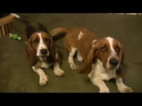 Basset Hound Security Dogs! Very Cute!