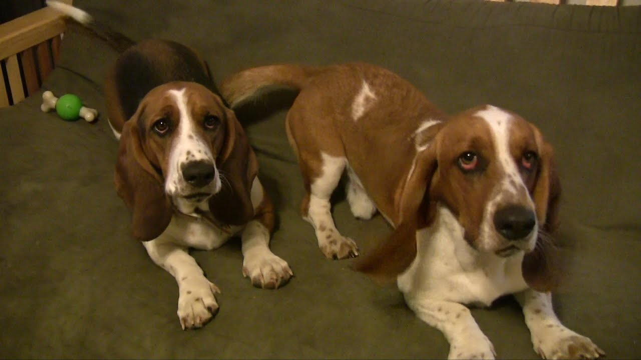 Pictures Of Basset Hound Dogs