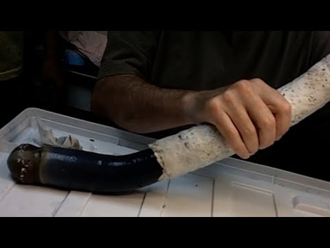 Sea creatures: Alien-like giant shipworm discovered; Living