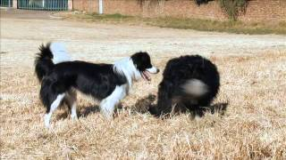 Border Collie Dogs Playing And Training - Dog Tv Working Dog Channel