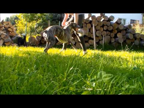 Whippet Zoom - obedience&tricks