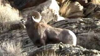 monster ram of Lamoille canyon, Elko Nevada