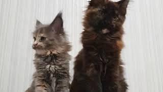 Черепаховый окрас у кошек. Слева - голубокремовая черепаха (g). Справа - чёрная черепаха (f)