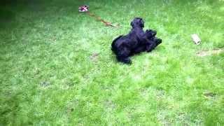 купить щенка Русского Черного Терьера www.adam-brt.ru