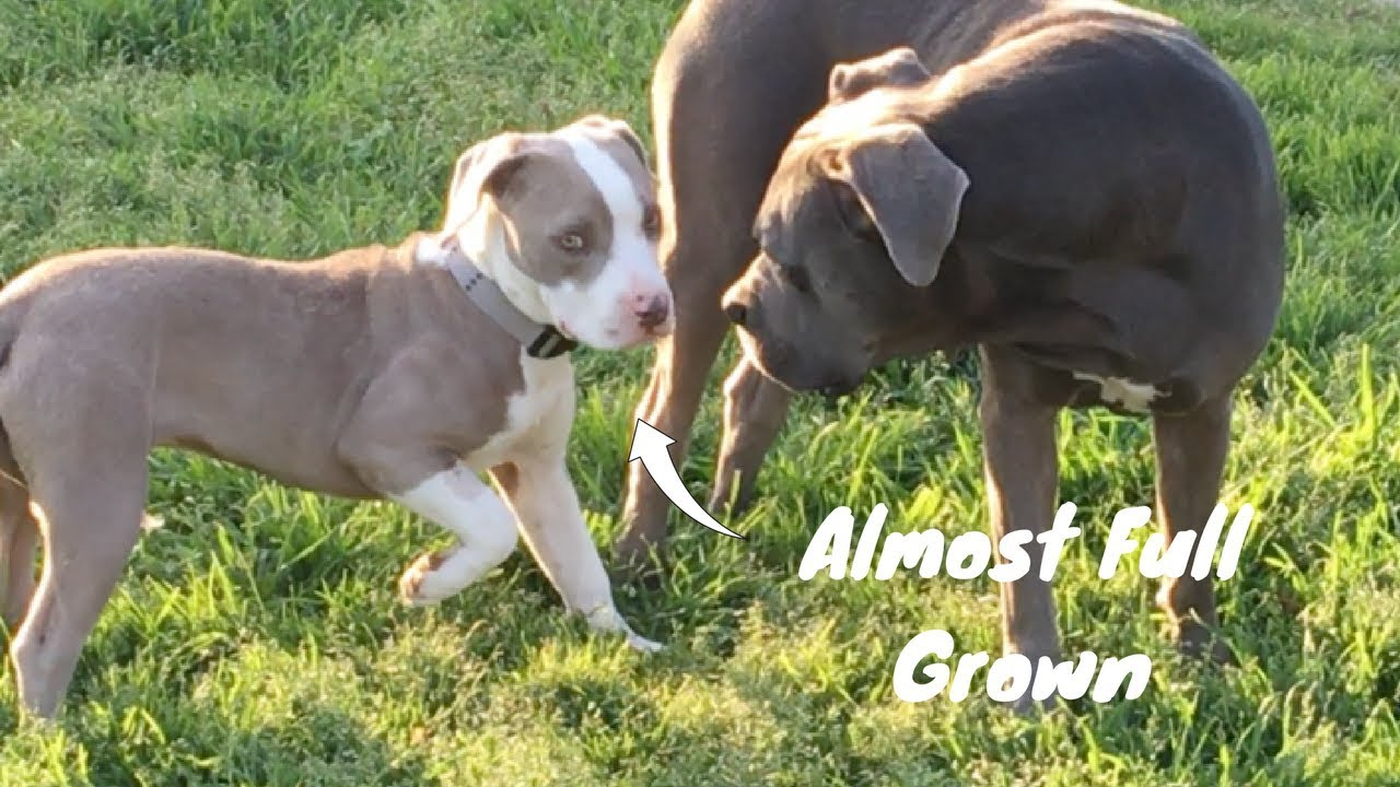 A Pocket Pitbull Compared To