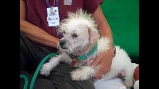 A4246400 Beefie   Cairn Terrier Mix