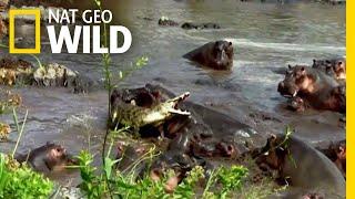 Hippo vs. Crocodile Nat Geo Wild