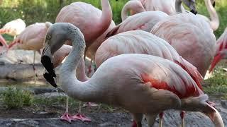 Nose-to-Beak: Virtual Flamingo Feeding