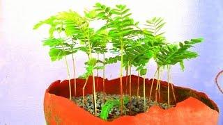 How To Grow Your Tamarind Bonsai forest | Look Amazing In 27 Days | Grow forest from seed
