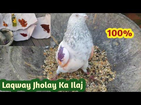 Download Jholay Laqway Ka Kamyab ilaj    Hashim Mahmood Pigeons