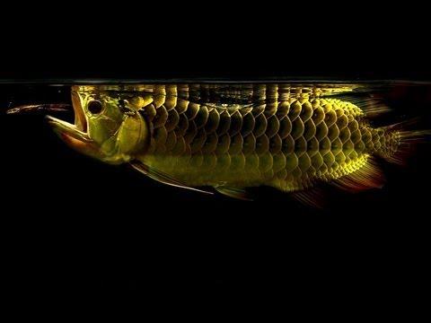 24K Crossback Arowana : A Very Beautiful & Playful Moment ...