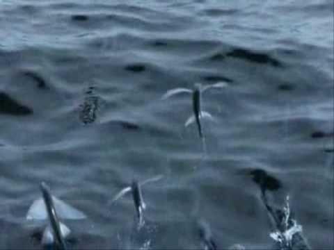 自然奇觀~飛魚! - YouTube