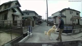 【ドラレコ】強制排除されるゴールデンレトリバー thumbnail