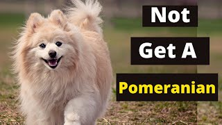 6 Reasons Why You Should Not Own a Pomeranian