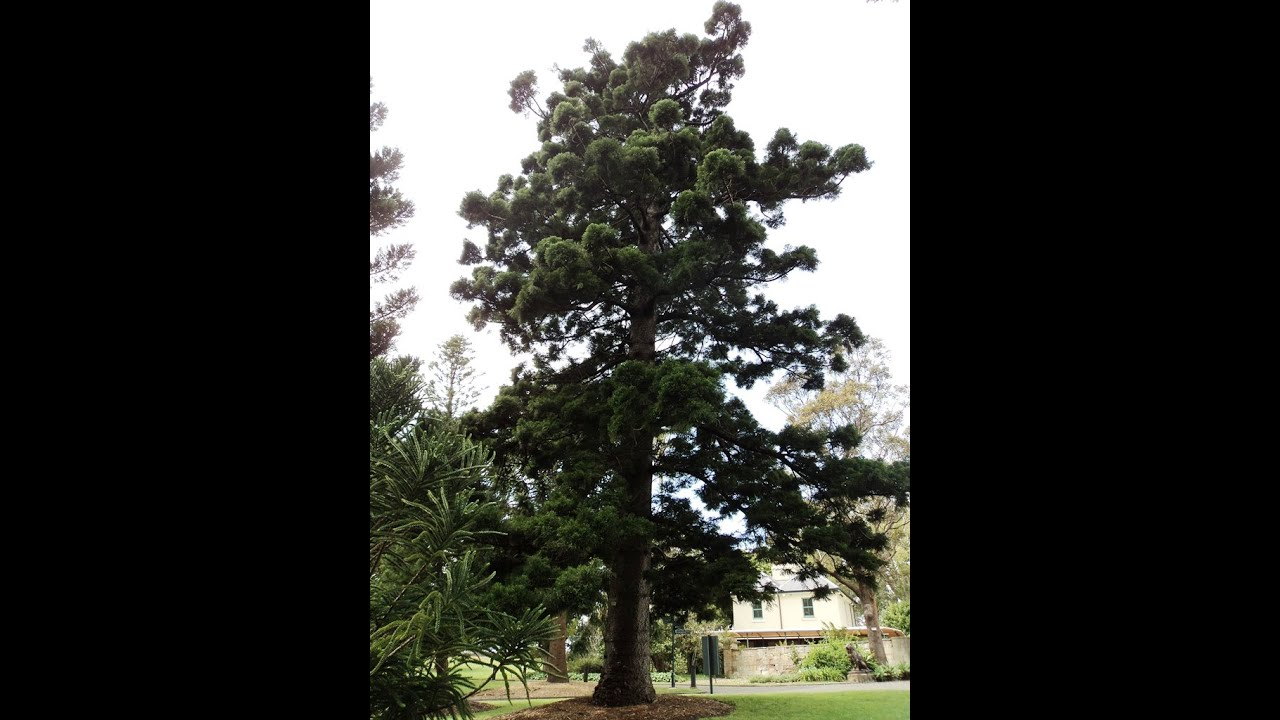 pine tree seed identification guide site au