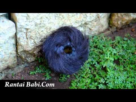 101+ Gambar Rantai Babi Yang Asli
