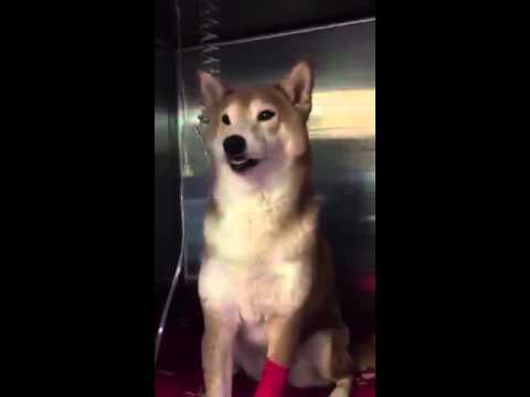 Doge at the vet after eating Pot brownie