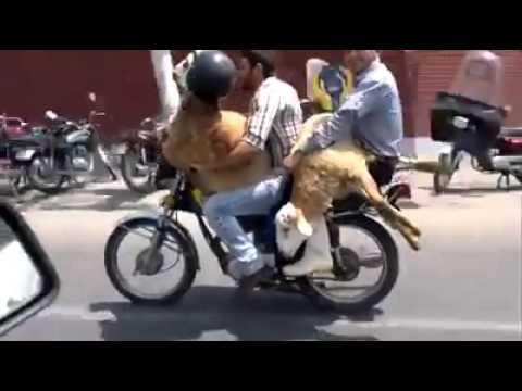2 Schafe fahren Motorrad|lustig - YouTube