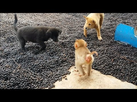 What happens when the baby monkey meets two puppies?