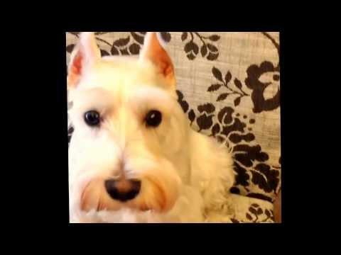 Miffy the white schnauzer singing happy birthday song to her papa!