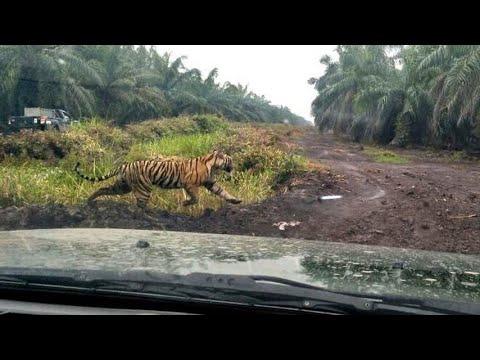 Tim Gabungan BBKSDA Riau Kembali Mencari Harimau Bonita
