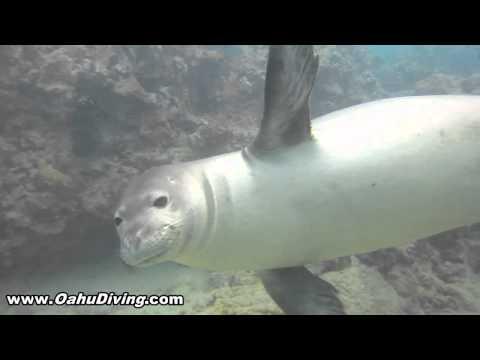 Hawaiian Monk Seal Encounter N-72 aka Salty