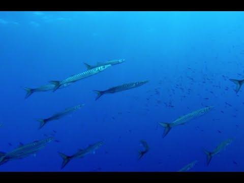 Barracuda fish, Greece
