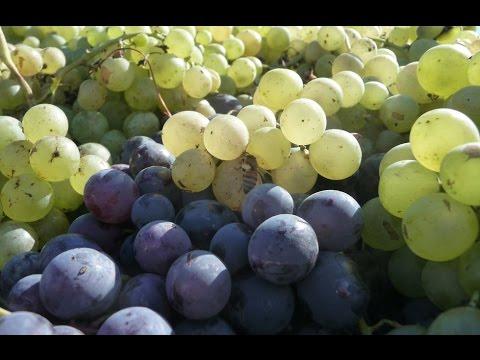 В Армении пропадает урожай винограда