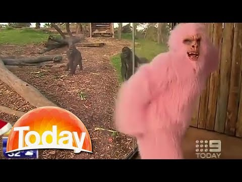 Reporters lose it as weatherman tries to seduce gorillas