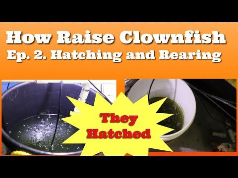 How To Raise Clownfish Ep2 The Hatching
