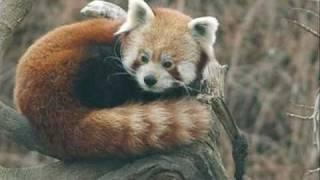 O belo Panda-vermelho.