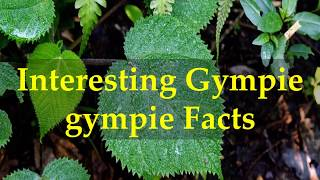 Interesting Gympie gympie Facts