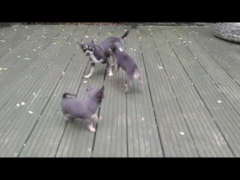 Blue/lilac Gorgeous Chihuaha Puppies Northampton