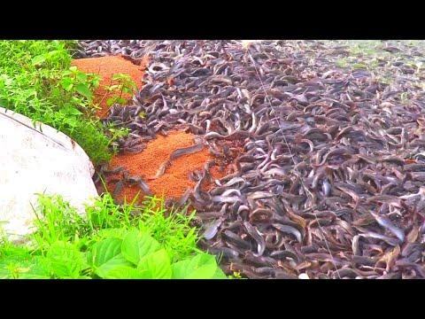 Repeat Hybrid Magur Fish Farming In India|| Million Catfish