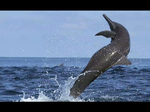Awesome  Spinner Dolphins filmed leaping by Spydolphin!