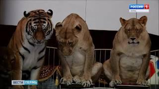 На арене Пермского цирка шоу «Империя львиц»